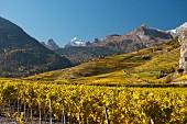 Weinberge am Fuss der Felswand des Berges Haut de Cry (Schweiz)