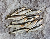 Pile of Sprats in ice