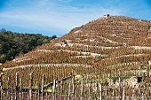 Terraced vineyards in the Rhône valley (France)