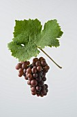 The Pinot Gris and Pinot Grigio grape with a vine leaf