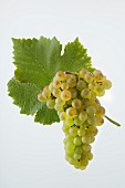 The Chasselas grape with a vine leaf