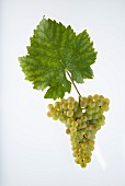 The L'Humagne Blanche grape with a vine leaf