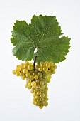 The Heida, Paien or Savagnin Blanc grape with a vine leaf