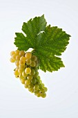 The Muscat Ottonel grape with a vine leaf