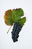 The Cornalin grape with a vine leaf
