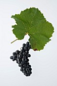 Pinot Noir or Blauburgunder (Blue Burgundy) grape with a vine leaf