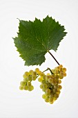 The Aligote grape with a vine leaf