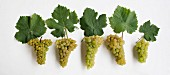Alte Walliser Traubensorten: V.l. Heida, Lafnetscha, Himbertscha, Gwäss, Resi