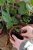Hände stecken Pflanzschild in Terracottatopf mit Pflanze