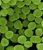 Staphylococcus warneri, coccoid prokaryote, SEM