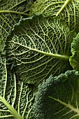 Close up detail shot of Savoy cabbage leaves