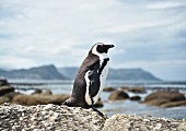 A Jackass Penguin near Simon's Town in Cape Town, South Africa