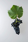A bunch of 'Diolinoir' grapes with a grapevine leaf