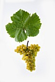The Heida (also known as Païen) white wine grape from the Savagnin variety with a vine leaf