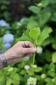 Hand hält zurecht geschnittenen Hortensienzweig (durch Stecklinge vermehren)
