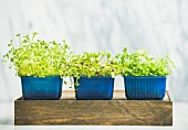Radish cress, water cress and coriander sprouts in blue plastic pots
