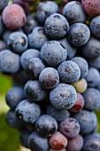 Rote Weintrauben am Rebstock (Nahaufnahme)