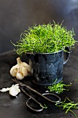 Fresh garlic sprouts in an enamel jug next to a bulb of garlic and garden shears