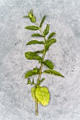 A mint branch on a grey background (top view)