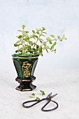 Fresh oregano in a green glass vase against a white background
