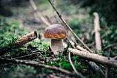 A fresh porcini mushroom in the woods