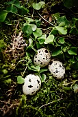 Quail eggs arranged on moss and leaves