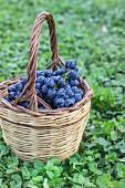 Blaue Trauben im Korb