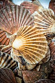 Scallop shells (seen from above)