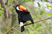 Toco toucan preening in a tree
