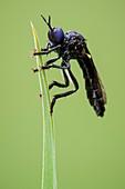 Black-legged violet robberfly