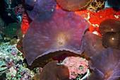 Disk anemone