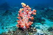 Dendronephthya soft coral