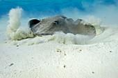 Stingray on a sandy seabed