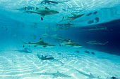 Blacktip reef sharks and stingrays