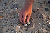 Relocating little tern eggs