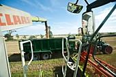 Harvesting wheat grains