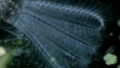 Stephanoceros rotifer