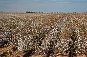 Cotton crop, Arizona, USA