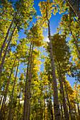 Quaking aspen (Populus tremuloides) in autumn