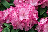 Rhododendron 'Tatjana' in flower