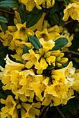 Rhododendron 'Saffron Queen' in flower