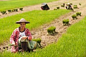 Asian woman harvesting rice plants in a rice field (Kachin, Myanmar, Burma)