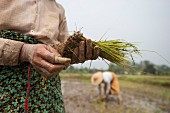 Asian women planting rice (Kachin, Myanmar, Burma)