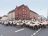 A herd of sheep at Leipziger Platz, Kassel, Germany