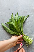 A bunch of fresh wild garlic leaves
