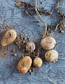 Potatoes with soil and roots