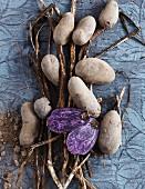 Kartoffeln der Sorte Blauer Schwede