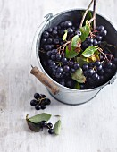 Aronia berries in a bucket