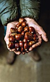 A hand holding several chestnuts