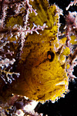 Backlit Leaf Scorpion Fish